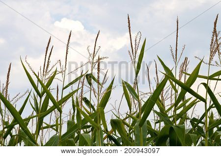 Close up of cornfield and blue summer sky