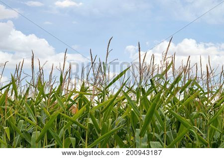 Cornfield and blue sky in the summer