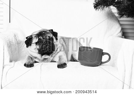 Pug dog with light brown fur and black muzzle sitting on chair near red mug for coffee or tea and firry tree on studio background