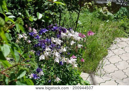 Violet, White And Pink Flowers Of Aquilegia In The Garden