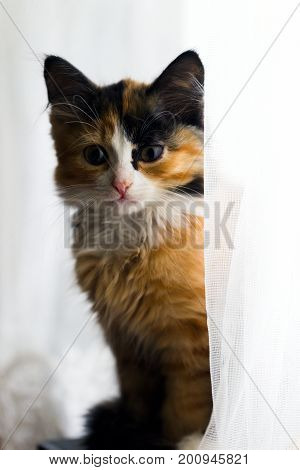 Small furry three-colored kitten on a white background