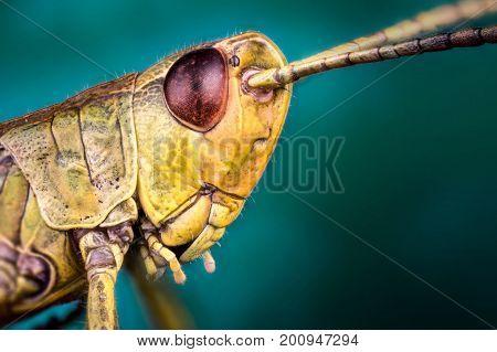 Head of Bush cicket (ensifera) macro or micro photography