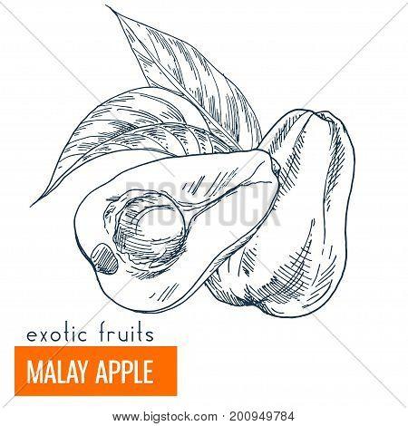 Malay apple. Hand drawn vector illustration, vintage enngraving style.