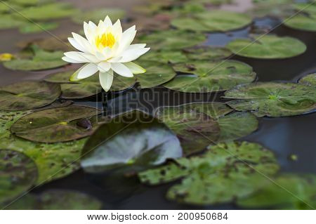 Beautiful lotus among sloppy leaves. Buddhist concept.