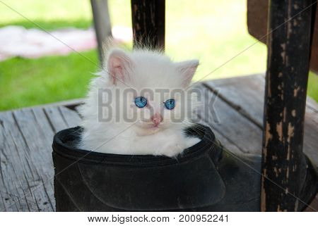 Cute angora white kitten with a blue eyes in a galosh at a summer