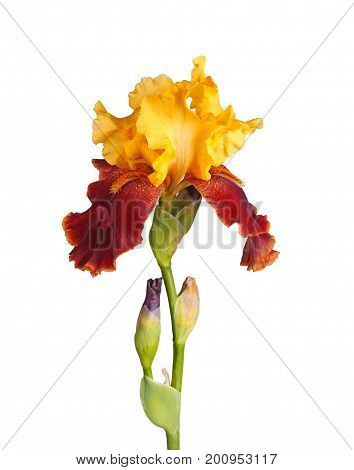 Stem with a yellow and burgundy flower and developing bud of a bearded iris (Iris germanica) isolated against a white background