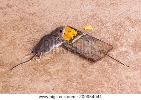 Common house mouse (Mus musculus) killed in a spring-loaded bar snap trap on a tile floor background
