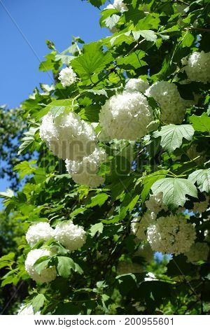 Globose Corymbs Of White Flowers Of Viburnum Opulus