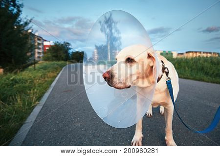 Old dog after surgery. Labrador retriever wearing medical protective collar on the walk.