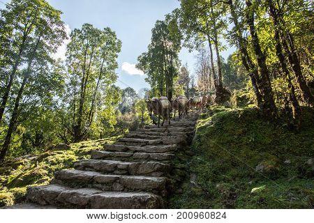 The caravan of mini horse is walking Nepal