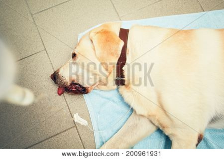Labrador retriever in veterinary clinic. Old ill dog with infusion.