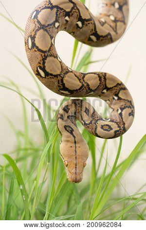 Reticulated Python, Boa Snake In The Grass, Boa Constrictor Snake On Tree Branch