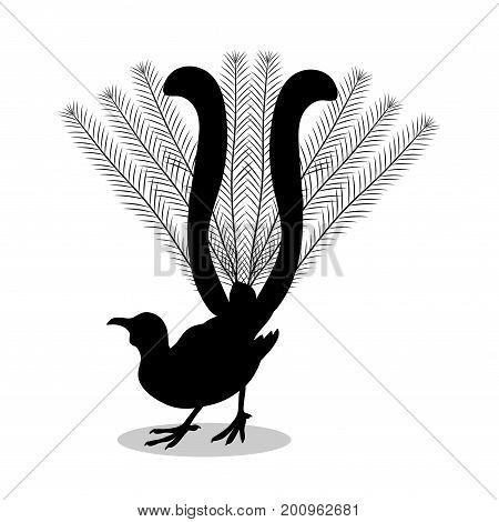 Lyrebird bird black silhouette animal. Vector Illustrator.