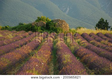 An unattended lavender field with the Grand Luberon as a background