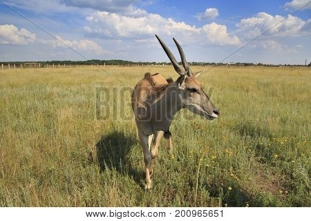 Single Eland antelope stands in the field under the blue cloudy sky