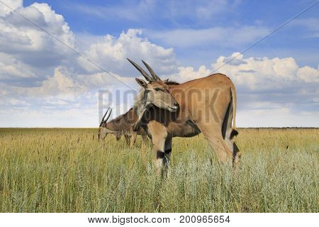 Wild eland antelope (common eland) in the field under the cloudy sky