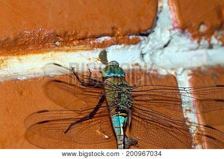 A large predator dragonfly sits on a painted brick wall