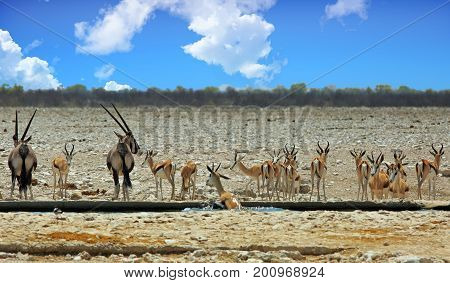 Panorama of a busy waterhole with Gemsbok Oryx and Impala in Etosha National Park Namibia
