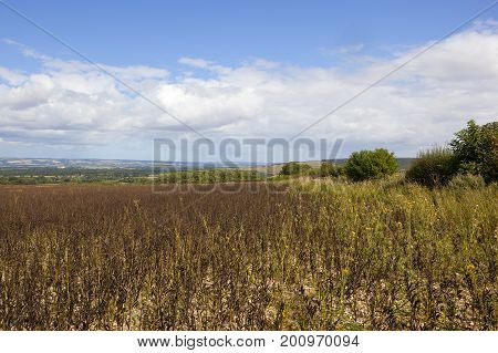 Yorkshire Wolds Bean Crop