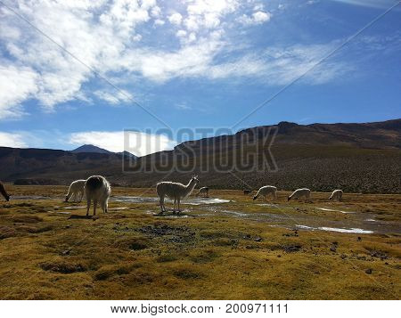 Lama eating in Bolivian Altiplano South America.