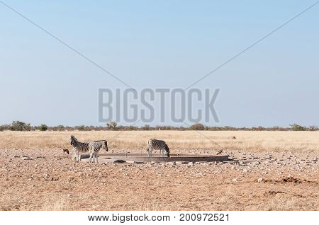 Three Burchells zebras Equus quagga burchellii a black backed jackal Canis mesomelas and an eagle at a waterhole in Northern Namibia