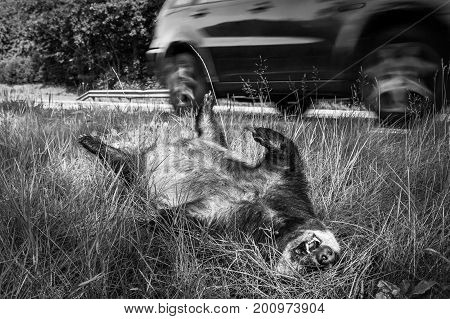 Dead badger , Melekilled by car, lyingwith its legs up in the air by the road. A car, out of focus, driving in the background black and white image