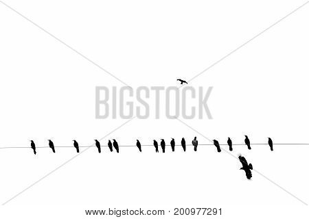 crows on an electric wire, black and white Horizontal