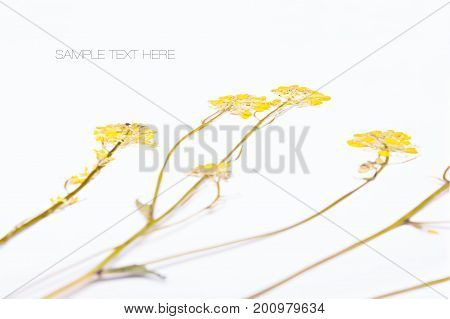 Pressed and dried yellow flowers isolated on white background. For use in scrapbooking floristry or herbarium.