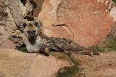 Wild Spotted / Laughing Hyena - Crocuta crocuta poster