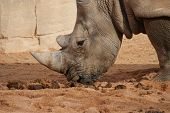 Close-up image of a Southern White Rhinoceros - Ceratotherium simum poster