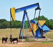 Oil well pumper in West Texas with Brahma calfs. poster