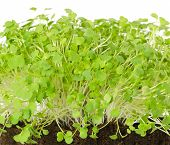 Rocket salad, fresh sprouts and young leaves front view over white. Salad vegetable and microgreen. Also known as arugula, rucola or rugula. Cotyledons of Eruca sativa in potting compost. Macro photo. poster