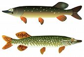 Pike fish and spotted pike fish on a white background raster illustration. poster