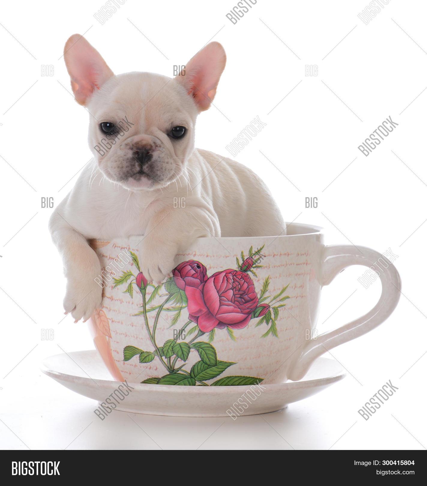 Female French Bulldog Image & Photo (Free Trial) | Bigstock
