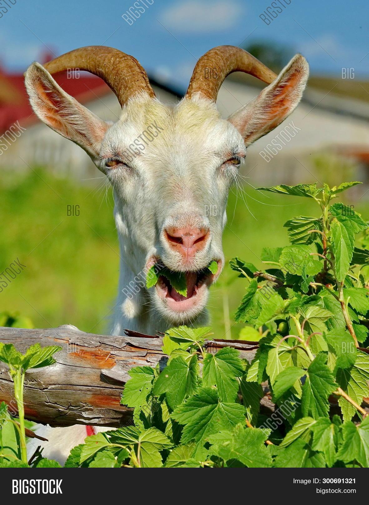 Merry Goat  Portrait, Image & Photo (Free Trial) | Bigstock