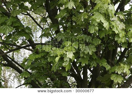 Lush Maple Leaves Growing In The Wild
