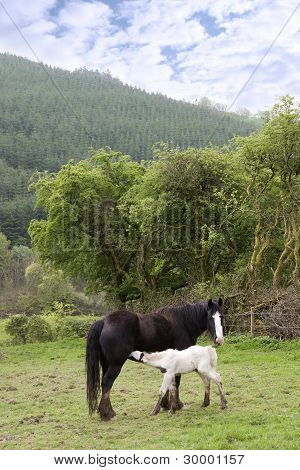 White Baby Foal Feeding From Its Mother