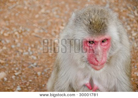 Half Portrait Of A Japanese Macaque