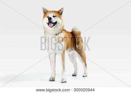 Akita-Inu young dog is posing. Cute white-braun doggy or pet is standing and looking happy isolated on white background. Studio photoshot. Negative space to insert your text or image. poster
