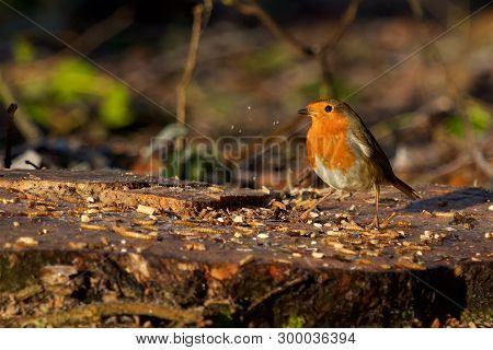 Early Morning Robin Feeding In A Local Park