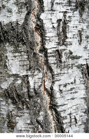 Bark Of A Birch Close Up On A Tree Trunk