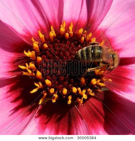 Bee Feasting On Pink Dahlia