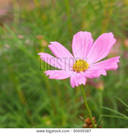 An image of closeup a nice cosmea
