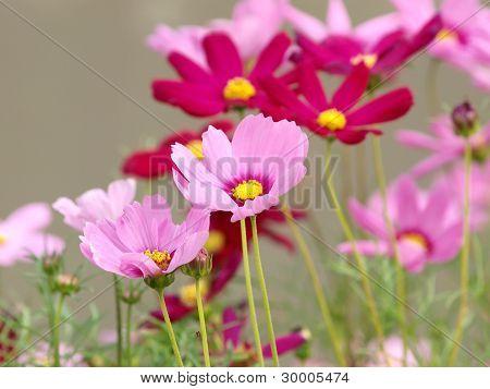 Pink Flower Of cosmea