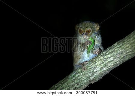 Spectral Tarsier, Tarsius spectrum, portrait of rare endemic nocturnal mammal eating grasshopper, small cute primate in large ficus tree in jungle, Tangkoko National Park, Sulawesi, Indonesia, Asia poster
