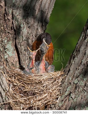 Mother Robin With Head In Mouth Of Baby