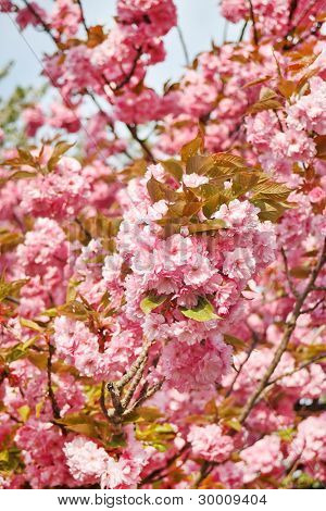 Japanese cherry with blossom