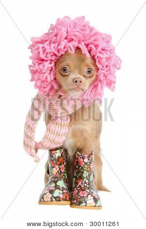 Funny Chihuahua puppy with pink wig and handmade scarf