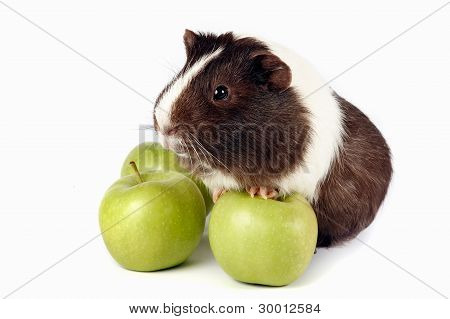 Guinea Pigs With Green fruit