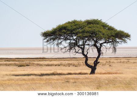 Large Acacia Tree In The Open Savanna Plains Of Etosha National Park In Namibia